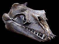 Fósil de ballena